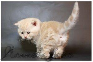 кремовый серебристый мрпморный британский короткошерстный кот