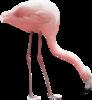 Фламинго png