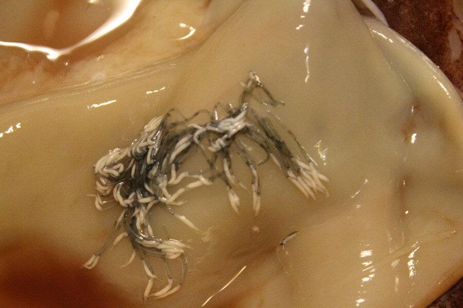 spermatofori-v-kalmarah