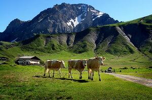 Настоящая корова с настоящими рогами шла навстречу по дороге