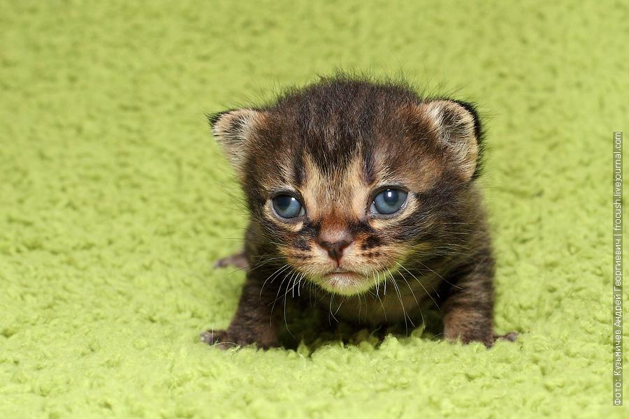 Москва продажа котята Бомбеи нетрадиционных окрасов