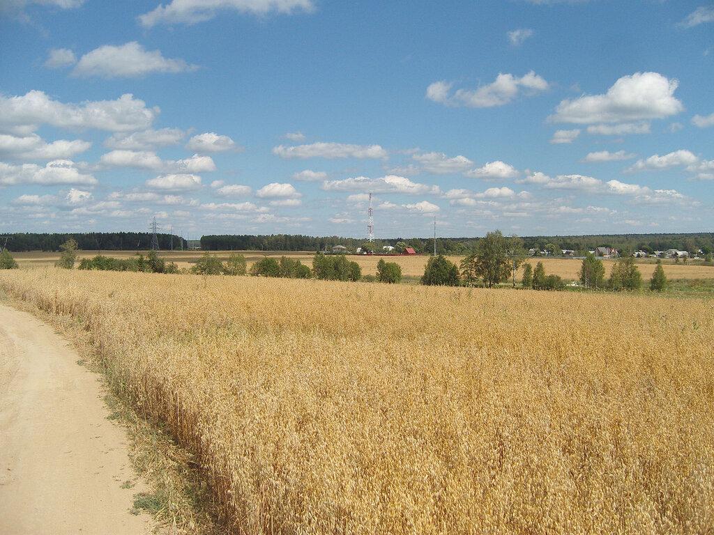 поле спелых колосьев