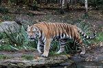 Panthera_tigris_altaica_амурский_тигр_Leipzig_zoo_22.10.2012 (390).jpg