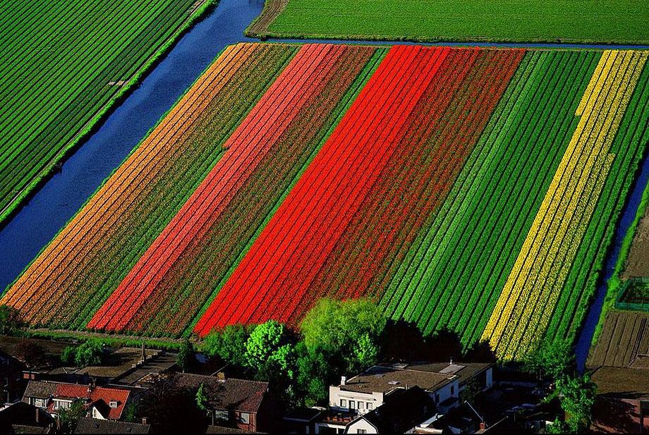 4. Поля тюльпанов неподалеку от голландского города Лиссе.