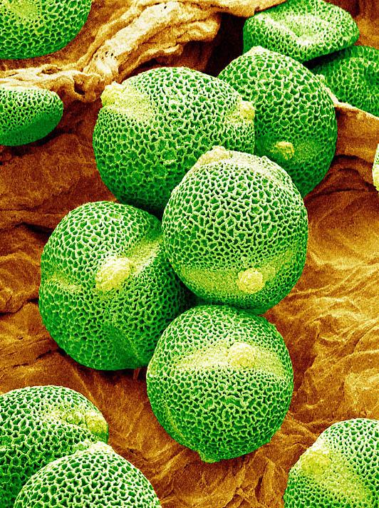 8. А эти «лимончики» - пыльцевые зерна огурца. (SUSUMU NISHINAGA / SCIENCE PHOTO LIBRARY / BARCROFT