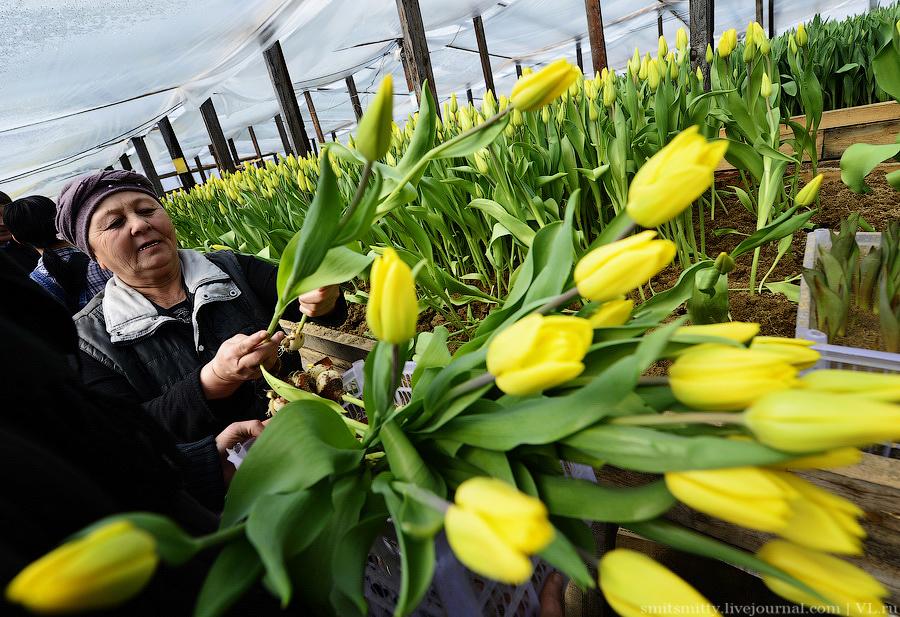 Как выращивают тюльпаны в Приморском крае