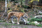 Panthera_tigris_altaica_амурский_тигр_Leipzig_zoo_22.10.2012 (387).jpg