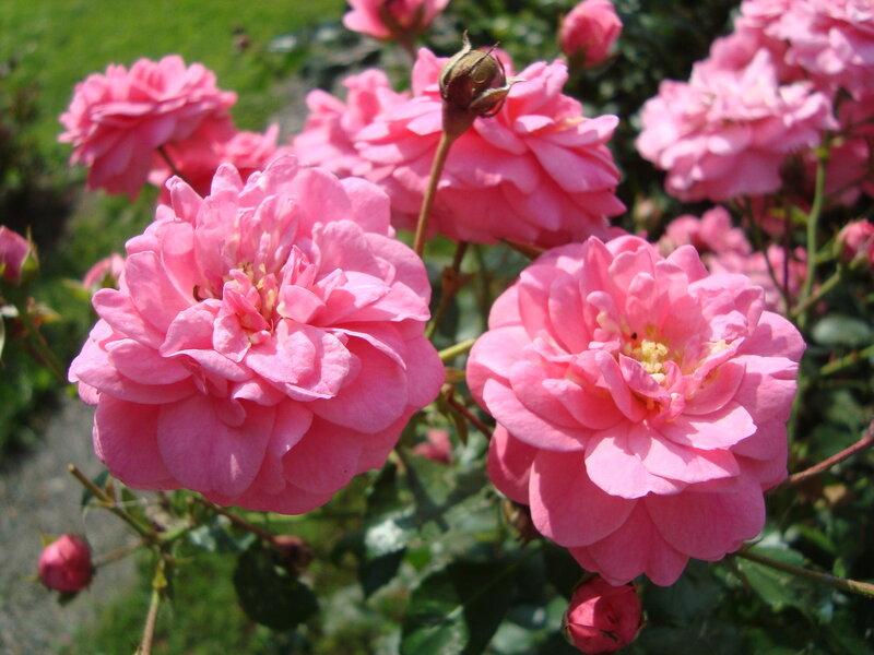Розовые розы. Ботанический сад. Москва