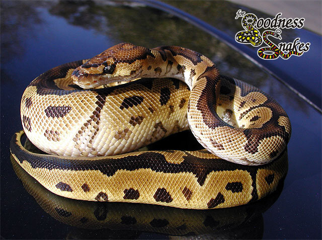 змея-клоун
