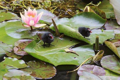 2 Птенцы болотной курочки