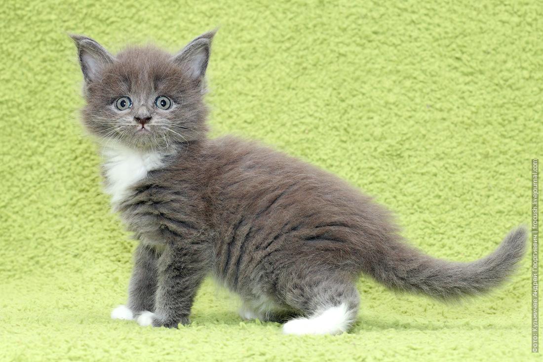 котята Мейн-кун зарезервировать