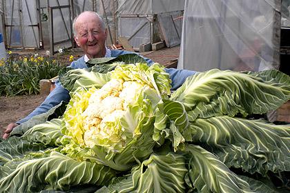 Садовод из Британии вырастил кочан цветной капусты весом 27 килограмм