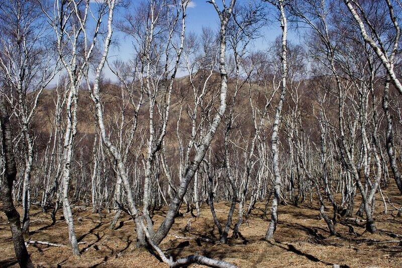 березовый лес  в горах инь шань, внутренняя монголия, китай