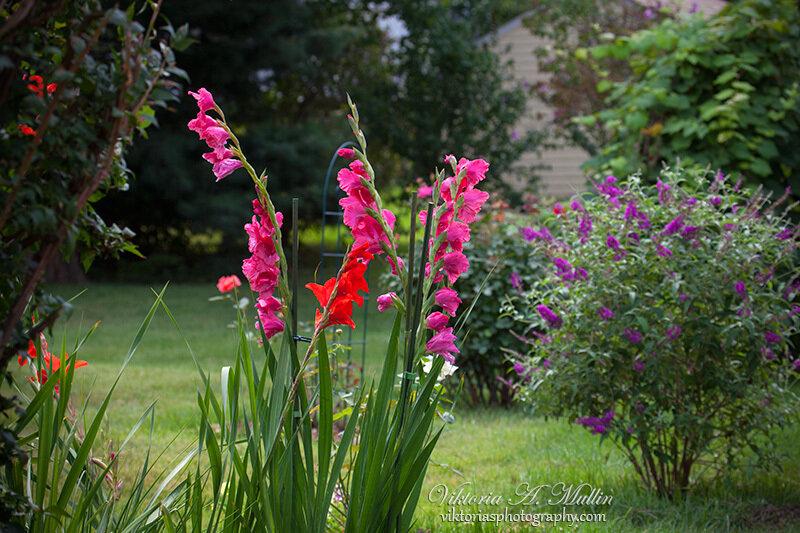 Лето 2013- Гладиолусы в моём саду-Viktoria Mullin