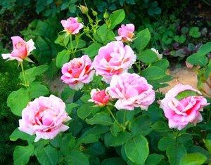 роза бьенвеню отзывы форум