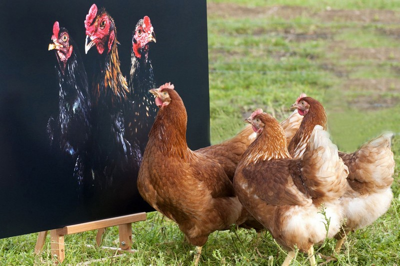 предлагают курица фото картинки прикольные лед