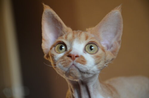 Indigo Planet Devon rex