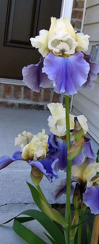 Цветник синий - цветник надежды-ирис бородатый