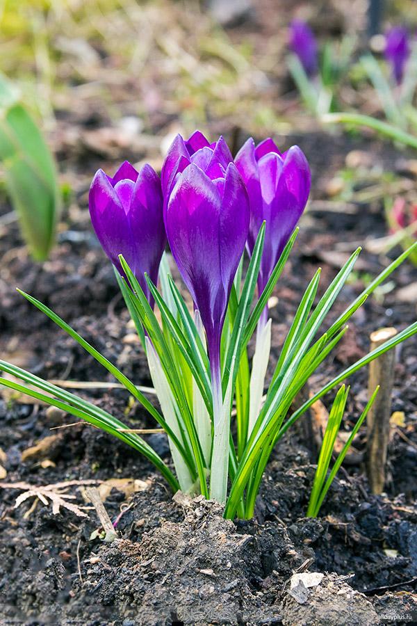 Я люблю все цветы, выпуск 88 | «Кро́кусы - солдатики весны».