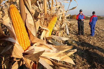 Гороху и кукурузе запретили расти вблизи барнаульского аэропорта
