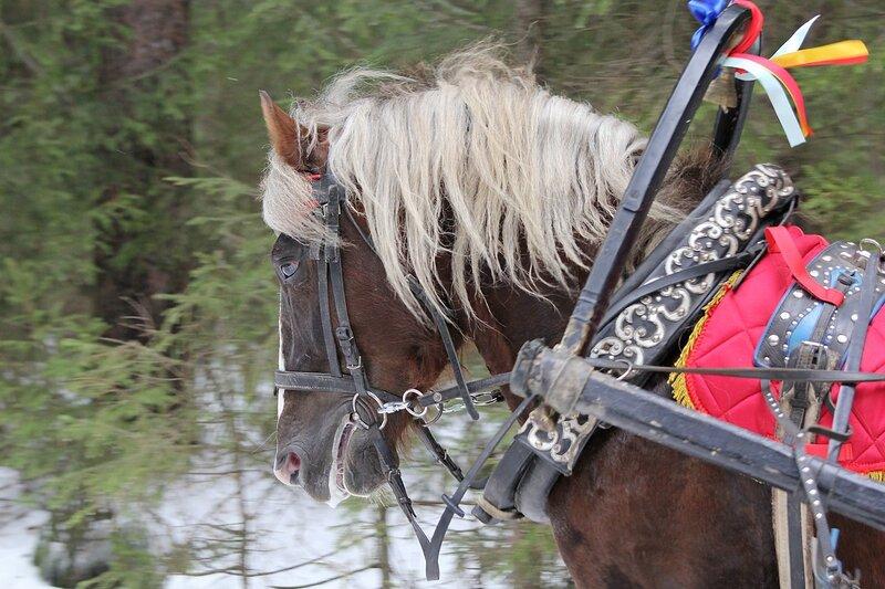 Конь игреневой масти, запряженный в сани в Порошино