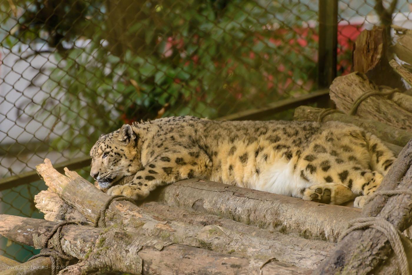 Фотография 11. Снежный барс в зоопарке Дарджилинга. Отчет о поездке в Индию самостоятельно. Сетки на переднем плане не видно – доказательство, что царапины на передней линзе объектива не особо влияют на качество картинки. 1/250, -0.67, 5.6, 800, 300.