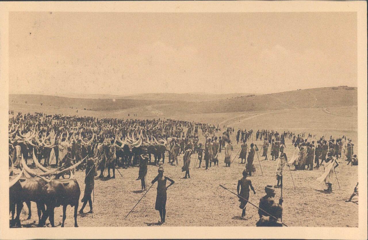 1910. Бельгийская колония Руанда. Священные быки