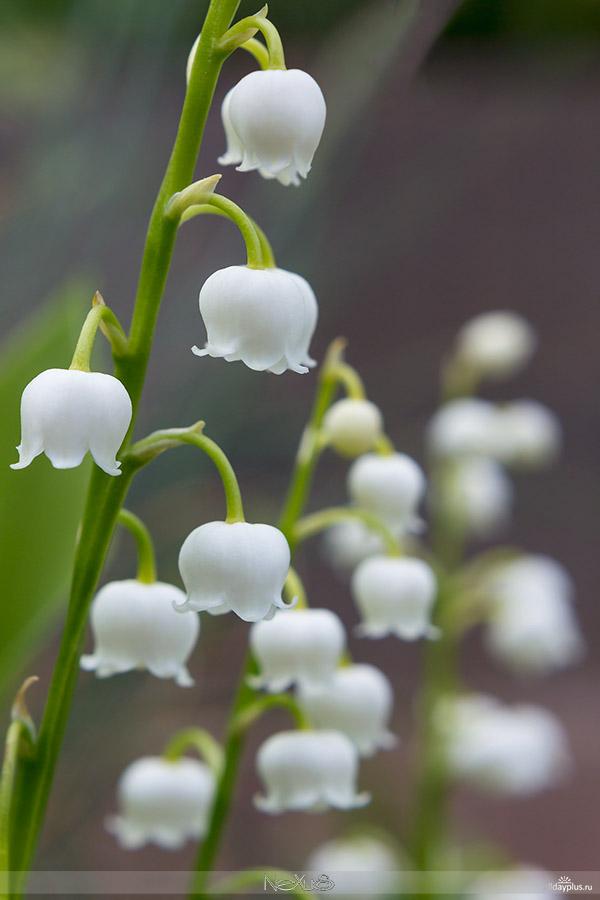 Я люблю все цветы, выпуск #103 b50| Ландыш - «лилия долин, цветущая в мае».