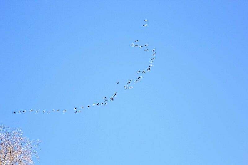 Стая гусей в небе над Чепецкими озёрами - Половодье 2015: первый заплыв