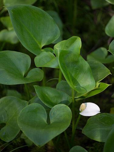 Белокрыльник болотный (Calla palustris). Автор фото - Брюхов Владимир, г.Кирово-Чепецк