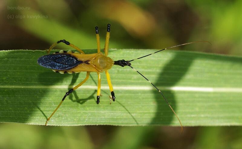 Клоп-хищнец Cosmolestes picticeps/Reduviidae