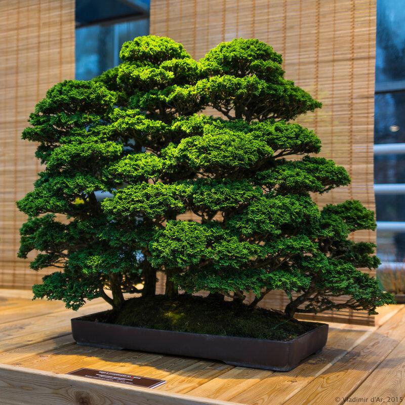 Кипарисовик притупленный. Возраст деревьев в группе – от 15 до 20 лет.