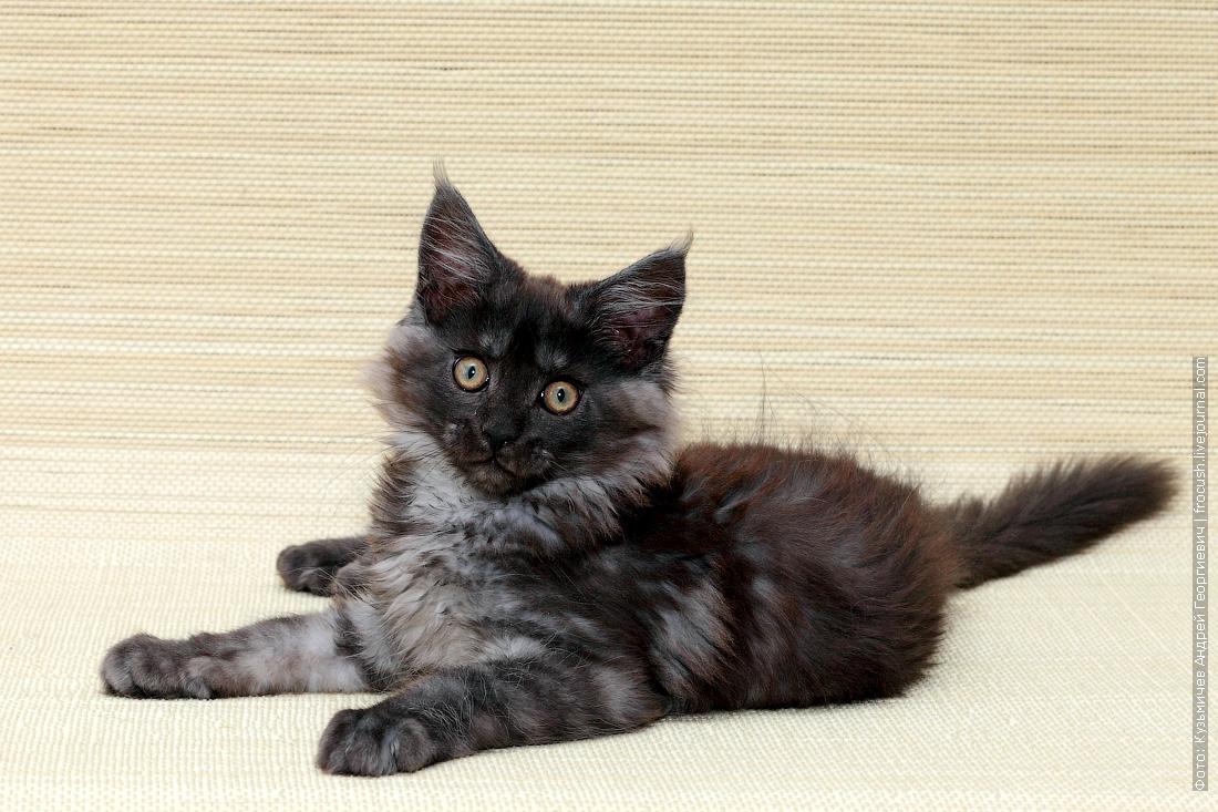 котенок мейн-кун купить в Москве