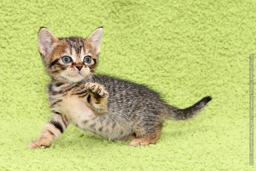 купить Бомбейские котята