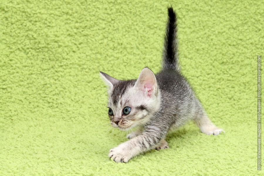 продажа Бомбейские котята