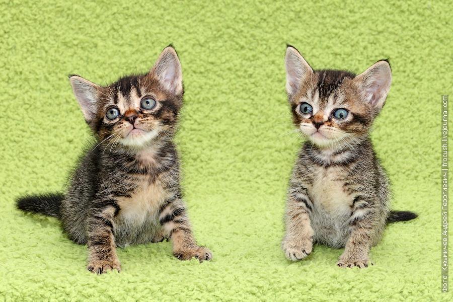 забронировать в Москве Бомбейские котята
