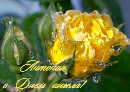 Антония, с Днем ангела! Желтая роза в росе открытка поздравление картинка