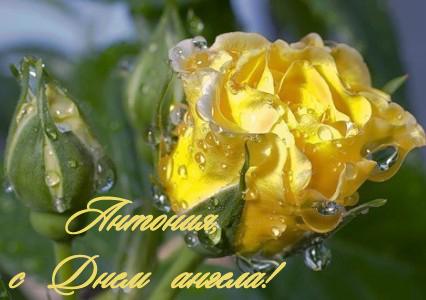 Антония, с Днем ангела! Желтая роза в росе открытки фото рисунки картинки поздравления