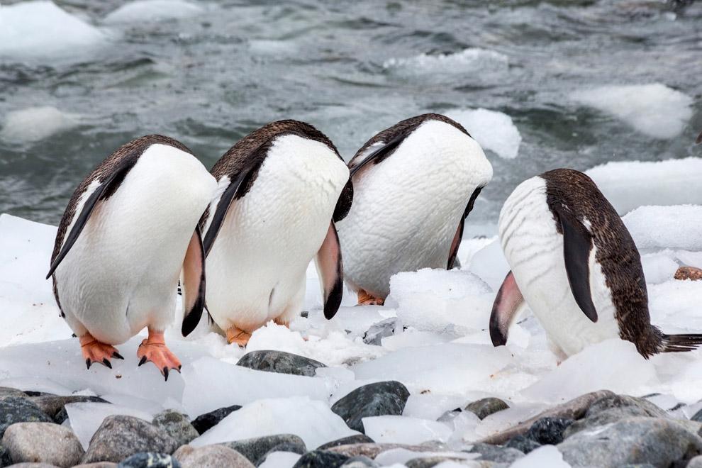 18. Больше не влезет. (Фото Olivier Colle | Comedy Wildlife Photography Awards):