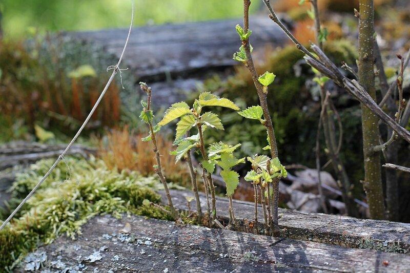 Молодые деревца в щели деревяшки