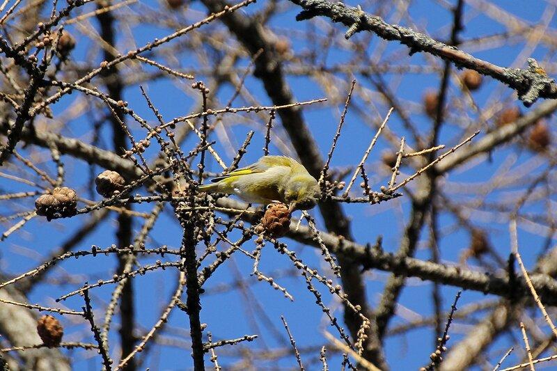 Обыкновенная зеленушка (Carduelis chloris) потрошит шишку лиственницы в Гагаринском парке