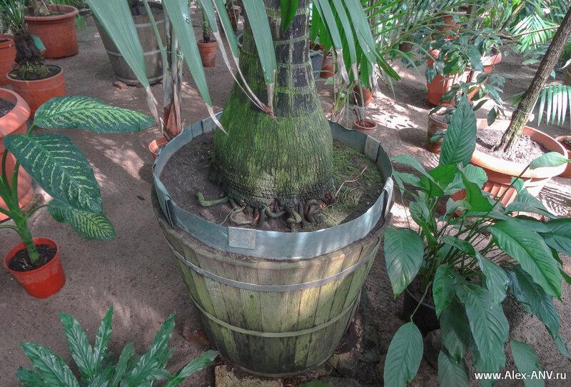Это не червяки, а корни пальмы.