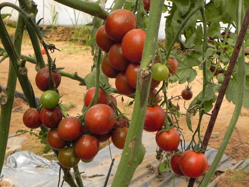 Деликатные помидорки черри.