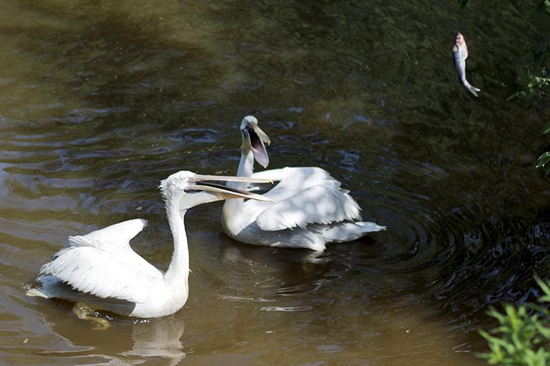 обед пеликанов