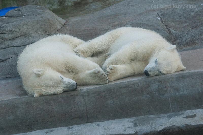 белые медвежата.jpg