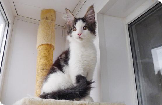 Мейн-кун продажа котят из питомника