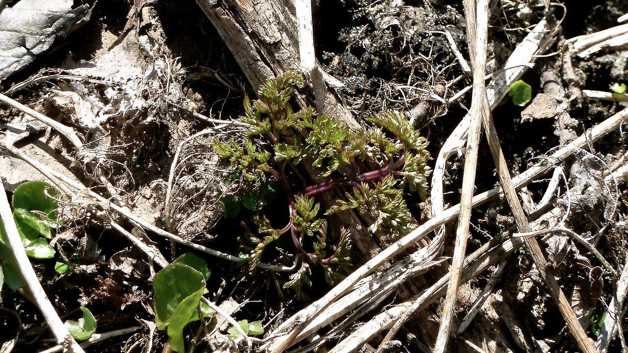 Бутень клубненосный (Chaerophyllum bulbosum). Автор фото: Сергей Апполонов