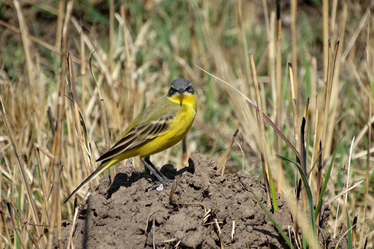 Жёлтая трясогузка (Motacilla flava). Автор фото: Привалова Марина