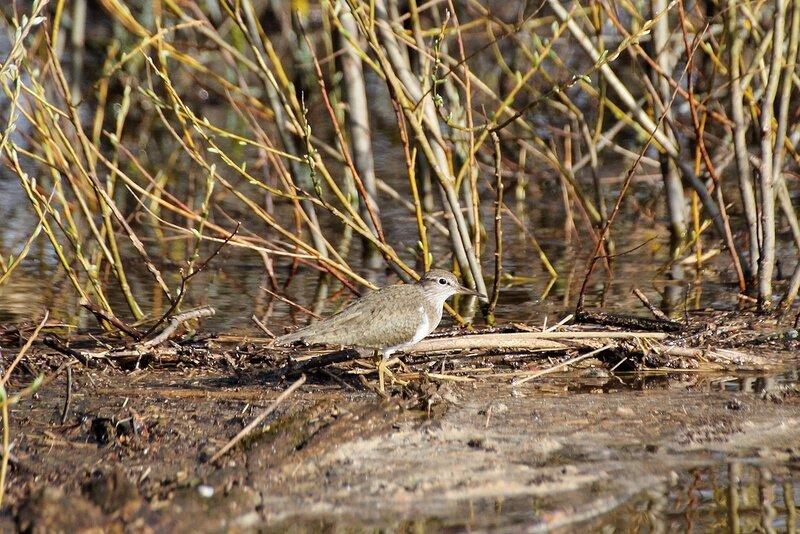 Перевозчик (Actitis hypoleucos) - небольшой куличок из семейства Бекасовых на грязи и ветках во время половодья на Вятке
