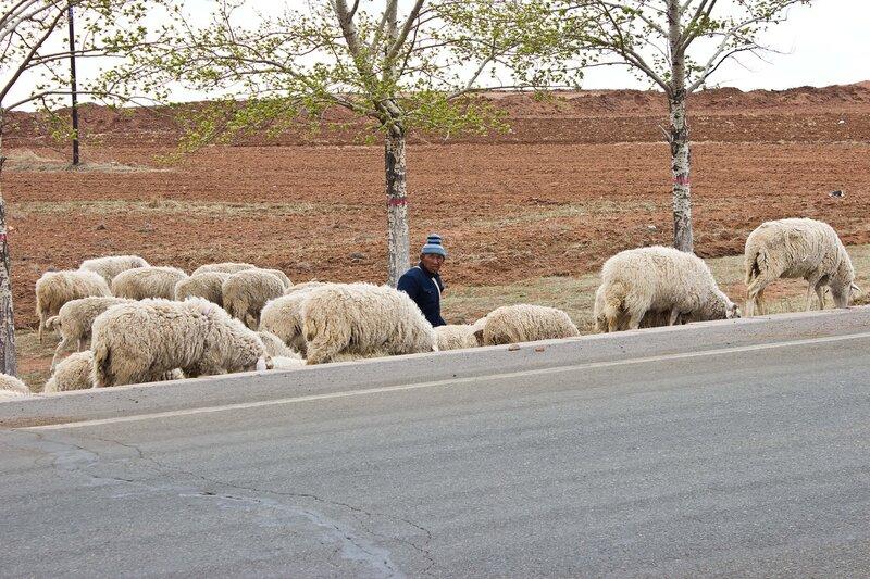 пастух и овцы у дороги  во внутренней монголии, китай